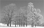 'Frosted Trees' by Doug Ross