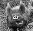 'What A Boar!' by Doug Ross