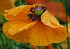 'Poppy In The Rain' by Gerry Simpson LRPS