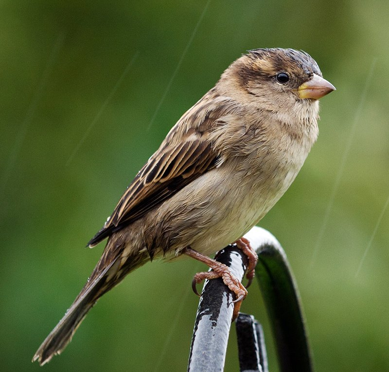 'Wet Sparrow' by Gerry Simpson ADPS LRPS